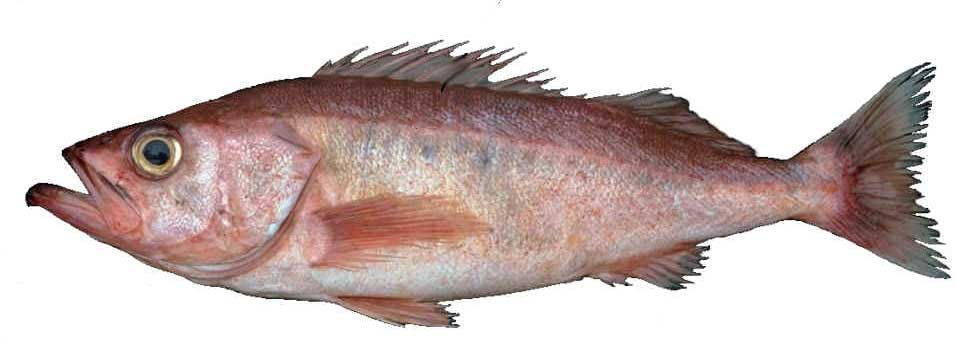 Chilipepper Rockfish