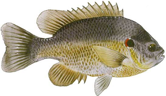Redear Sunfish Fish Identification
