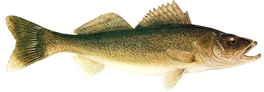 Pike fishing or walleye