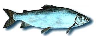 Whitefish