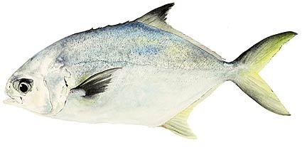 Pompano fish identification for Florida pompano fish
