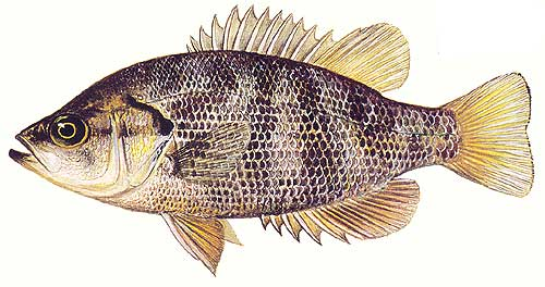 Sacramento perch fish identification for Perch fish facts