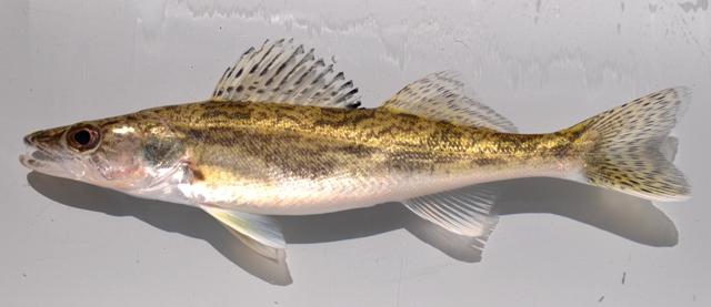 Fish Identification - Saugeye
