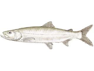 Sheefish