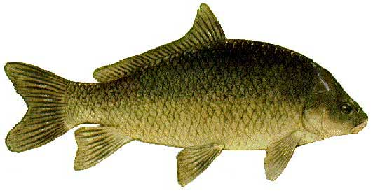 Smallmouth Buffalo