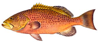 Yellowmouth Grouper