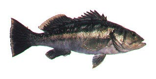 Kelp Bass