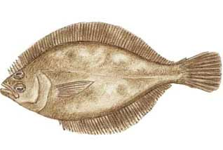 Pacific sanddab fish identification for Sand dabs fish