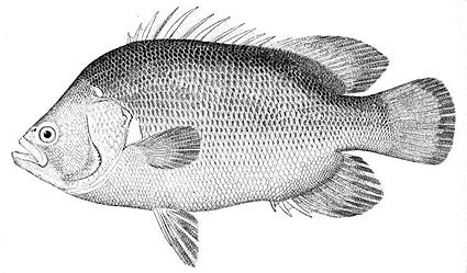 Are triple tail good to eat for Triple tail fish recipes