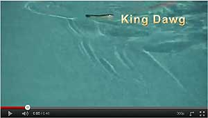 ABT Lures King Dawg Video