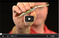 Flicker Minnow