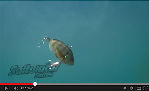 Koppers  Live Target Pinfish Video